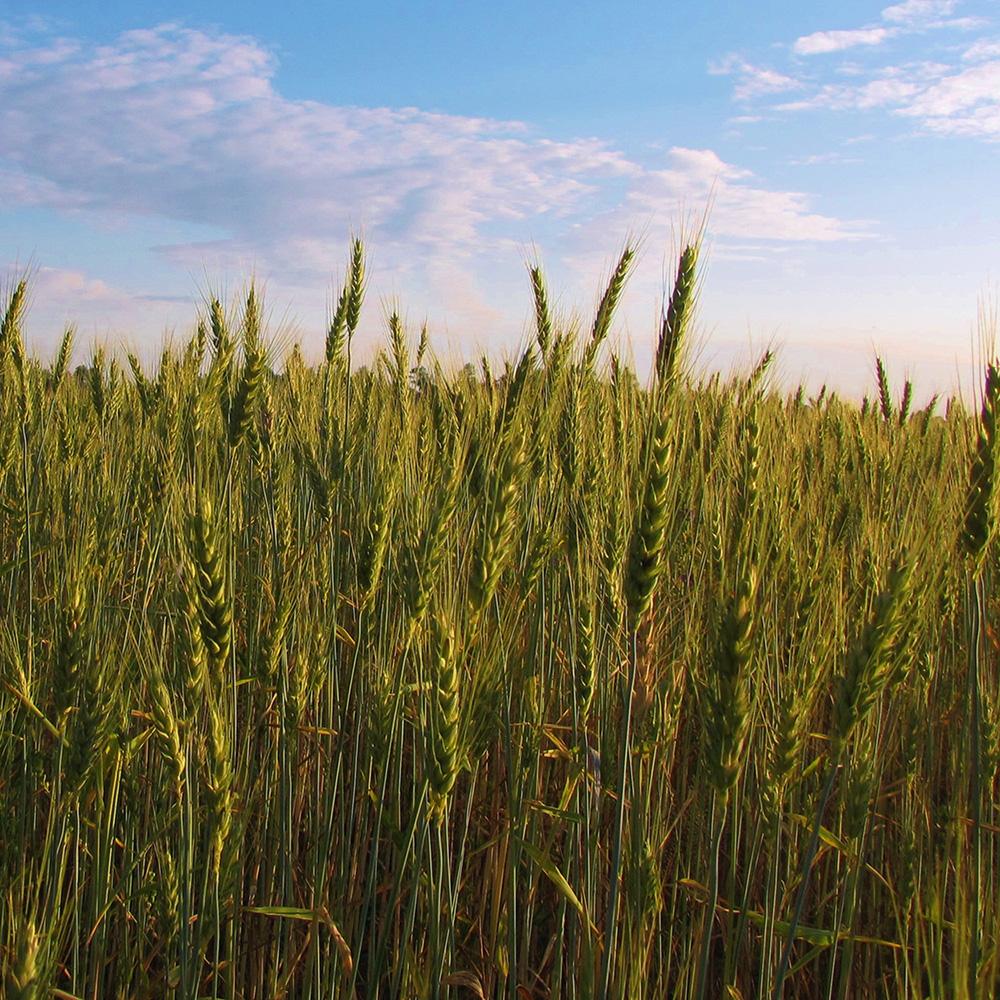 wheatfield_bladenconc_4x4