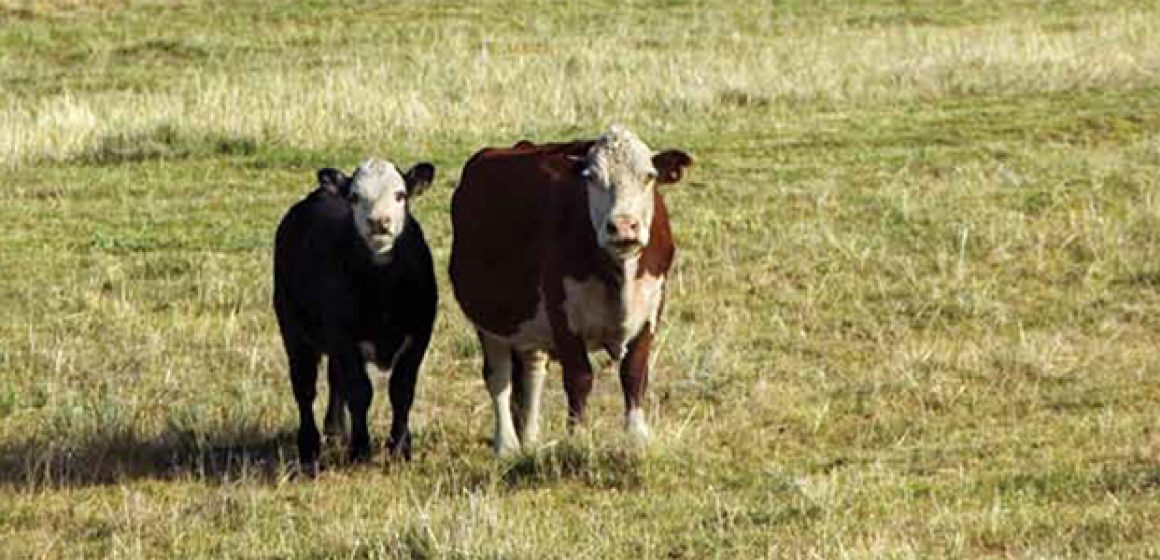 cattle_cabarruscounty