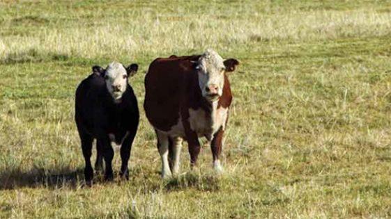 cattle_cabarruscounty