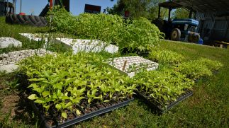 Pepper and tomato plants await planting at the Agroeceology Farm.